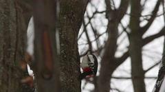Great spotted woodpecker (Dendrocopos major) knocking on wood Stock Footage