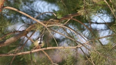 Great Tits  (Parus major) are jumping on pine branches and chirp - stock footage