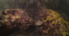 Painted spiny lobster hiding in mangroves, Panulirus versicolor, 4K UltraHD, Stock Footage