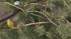 Birds European greenfinch and Great Tits are jumping on pine branches and chirp Stock Footage