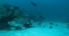 Coral trout swimming on sand and small coral heads, Plectropomus leopardus, 4K Stock Footage