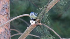 Eurasian blue tit  jumping on the branch of a pine and bite a piece of bread Stock Footage