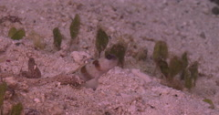 Red-margin shrimpgoby displaying on seagrass, sand and small coral heads, Stock Footage