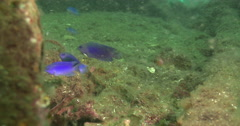 Adults and juveniles Australian damsel feeding on inshore wreck on deep sand, Stock Footage