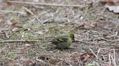 Eurasian siskin (Spinus spinus) searches for food in the grass in early spring Stock Footage