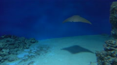 4K video of a stingray drifting under water against blue background Stock Footage