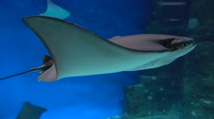 Stingray floating under water against blue background. 4K close up shot Stock Footage