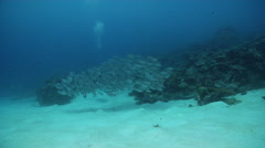 Crescent-tail bigeye swimming and schooling on sand and reef, Priacanthus Stock Footage