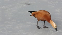 Ruddy shelduck (Tadorna ferruginea)  walks on the ice and drinking water Stock Footage