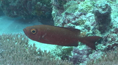 Crescent-tail bigeye cleaning and being cleaned on cleaning station, Priacanthus Stock Footage