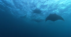 Reef manta ray feeding in bluewater, Manta alfredi, 4K UltraHD, UP36134 Stock Footage