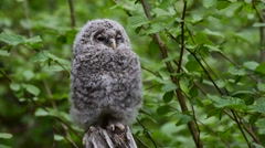 Ural owl (Strix uralensis) fledgling perched on tree stump in forest Stock Footage