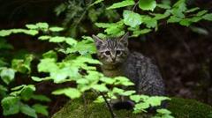 European wild cat kitten looking around in undergrowth in forest - stock footage