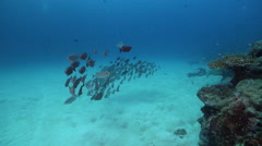 Crescent-tail bigeye hovering and schooling on sand and reef, Priacanthus - stock footage