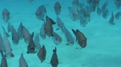 Crescent-tail bigeye swimming and schooling on sand, Priacanthus hamrur, HD, Stock Footage