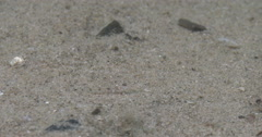 Looking around on sand, Unidentified goby species, 4K UltraHD, UP36139 Stock Footage