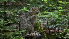 European wild cat (Felis silvestris silvestris) female leaving playful kitten Stock Footage