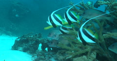 Schooling bannerfish hovering on stressed coral reef, Heniochus diphreutes, 4K Stock Footage
