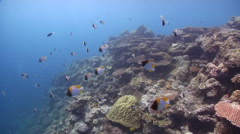 Pyramid butterflyfish feeding on shallow coral reef, Hemitaurichthys polylepis, Stock Footage
