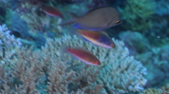 Male adult Blue-scaled fairy wrasse swimming on semi-protected coral slope, Stock Footage