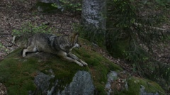 Grey wolf resting on rock in forest Stock Footage