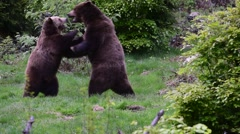 Two brown bears fighting in forest Stock Footage
