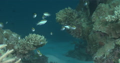 Adults and juveniles Barrier reef chromis feeding on shallow coral reef at dusk, Stock Footage