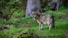 European grey wolf looking away and then walking in forest Stock Footage