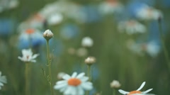 Close up view of camimoles and cornflowers Stock Footage