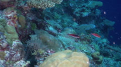 Blue-scaled fairy wrasse swimming on semi-protected coral slope, Cirrhilabrus - stock footage