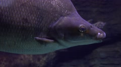 Close up 4K shot of a big fish passing by Stock Footage