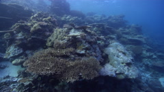 Ocean scenery climax community of diverse and healthy hard corals, pristine Stock Footage