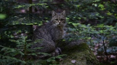 European wild cat sitting in pine forest - stock footage
