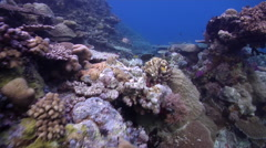 Ocean scenery climax community of diverse and healthy hard corals, on pristine - stock footage