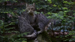 European wild cat and playful kittens in forest - stock footage