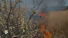 The tree of cherry continues to blossom in the white color even during the fire Stock Footage