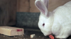 Adult white rabbit with his carrot Stock Footage
