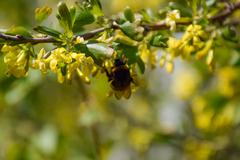 Bumblebee on the flowers of golden currant - stock photo