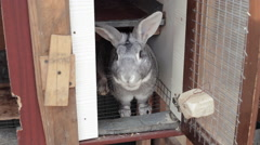 Adult grey chinchilla rabbit looking prey for food Stock Footage