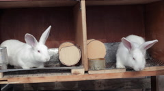 Two white rabbits in his wooden cages Stock Footage