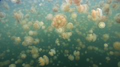 Golden jellyfish swimming on landlocked and isolated brackish lagoon, Mastigias Stock Footage