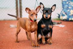 Two Lovely Miniature Pinschers Pinchers Staying Together Stock Photos