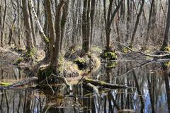 Stock Photo of fllooded trees on swamp in forest