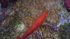Coral cod swimming on seaward wall, Cephalopholis miniata, HD, UP32690 Stock Footage