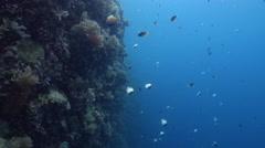 Pyramid butterflyfish feeding on protected deep wall, Hemitaurichthys polylepis, Stock Footage