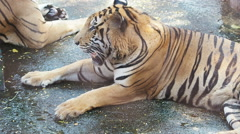 Tiger laying on ground. Stock Footage