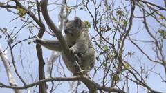 Koala scratching on a eucalyptus tree Stock Footage