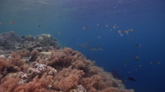 Ocean scenery lots of fish, on very shallow reef and surface, HD, UP32716 Stock Footage