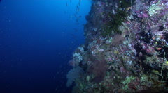 Ocean scenery fusiliers streaming down the wall, fragile fan species, on - stock footage