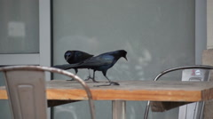 Grackles Having Lunch Stock Footage